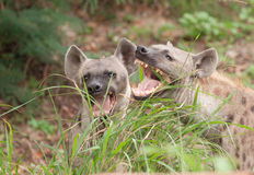 Spotted hyenas. Two spotted hyena in the wild stock images