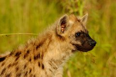 Spotted Hyena. Side Profile of a Spotted hyena in the Afternoon light Royalty Free Stock Image