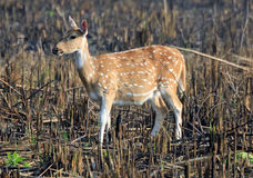 Spotted Indian Deer Stock Photography