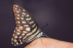 Spotted Jay butterfly Royalty Free Stock Photo