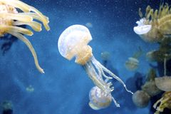 Spotted jelly fish. Several spotted jelly fish floating around in the blue water royalty free stock images