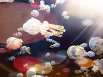 A school of spotted jelly fish stock images