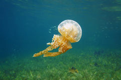 Spotted jelly Mastigias jellyfish in Caribbean sea Royalty Free Stock Image