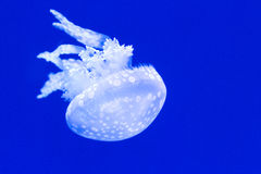 Spotted jellyfish Stock Photography