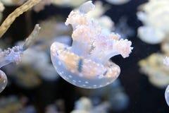 Spotted Jellyfish genus Mastigias Stock Image