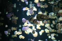 Spotted jellyfish (Mastigias papua). Flock of baby spotted jellyfish in water Stock Photography