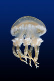 Spotted jellyfish. Run in the blue ocean royalty free stock photos