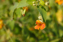 Spotted Jewelweed Flower Impatiens Capensis Stock Image