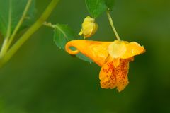 Spotted Jewelweed - Impatiens capensis. Close up of an orange Spotted Jewelweed flower. Also known as Common Jewelweed, Orange Balsam, Orange Jewelweed, and royalty free stock images