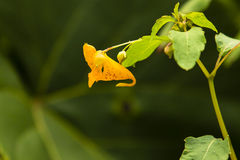 Spotted Jewelweed/Touch-Me-Not Orange Flower Royalty Free Stock Images