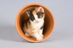 Spotted kitten and a flower pot, Royalty Free Stock Photography