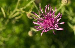 Spotted Knapweed – Centaurea maculosa Stock Photos