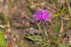 Spotted Knapweed Stock Photo