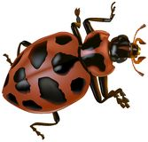 Spotted Lady Beetle Royalty Free Stock Photo
