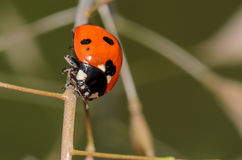 Spotted Ladybug. Lady Beetle crawling on a small weed Stock Image