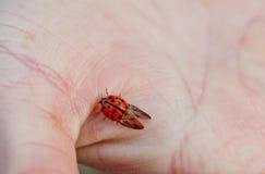 Spotted ladybug Royalty Free Stock Photos