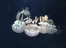 Spotted lagoon jellies Stock Photography