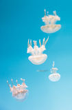 Spotted lagoon jelly, golden medusa, Mastigias papua Stock Photography