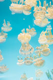 Spotted lagoon jelly, golden medusa, Mastigias papua Royalty Free Stock Image