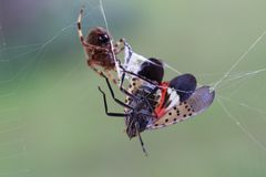 Spotted Lantern Fly Trapped in Orb Weaver Spider Web stock image