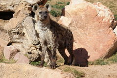 Spotted (laughing) Hyena - Crocuta crocuta Royalty Free Stock Image