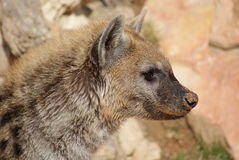 Spotted (laughing) Hyena - Crocuta crocuta Royalty Free Stock Photo
