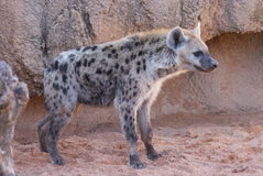 Spotted (laughing) Hyena - Crocuta crocuta Stock Photography