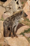Spotted (laughing) Hyena - Crocuta crocuta Stock Images