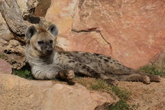 Spotted (laughing) Hyena - Crocuta crocuta Stock Photos
