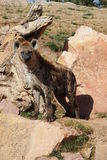 Spotted (laughing) Hyena - Crocuta crocuta Stock Image