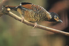 Spotted laughingthrush Royalty Free Stock Image