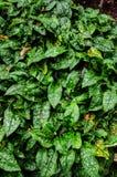 Pulmonaria officinalis, lungwort Stock Photos
