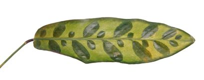 Spotted leaf of Calathea lancifolia or Rattlesnake Plant syn. Calathea insignis isolated on white background royalty free stock photo