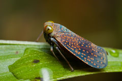 A spotted leafhopper Stock Image