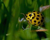 Spotted Lemon Ladybird, Psyllobora vigintiduepunctata. A 22-spot ladybird/bug (Spotted Lemon Ladybird) Psyllobora vigintiduepunctata in the morning dew Stock Image