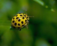 Spotted Lemon Ladybird, Psyllobora vigintiduepunctata. A 22-spot ladybird/bug (Spotted Lemon Ladybird) Psyllobora vigintiduepunctata in the morning dew Royalty Free Stock Photography