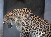 Spotted leopard royalty free stock photos