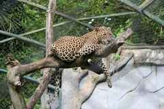 Spotted Leopard. Resting atop of a dry wood tree in the zoo Royalty Free Stock Photo