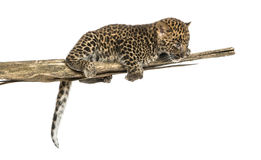 Spotted Leopard cub on a branch looking down, 7 weeks old Stock Photo