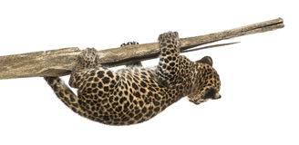 Spotted Leopard cub hanging on to a branch, 7 weeks old Royalty Free Stock Photography