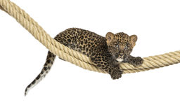 Spotted Leopard cub holding on a rope, 7 weeks old. Isolated on white Stock Images