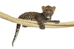 Spotted Leopard cub holding on a rope, 7 weeks old. Isolated on white Royalty Free Stock Photo