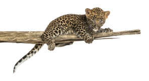 Spotted Leopard cub lying on a branch, 7 weeks old. Isolated on white Stock Image