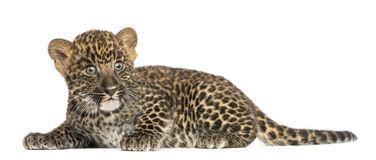 Spotted Leopard cub lying down - Panthera pardus, 7 weeks old. Isolated on white Royalty Free Stock Image