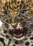 Spotted Leopard cub - Panthera pardus Royalty Free Stock Images