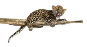 Spotted Leopard cub roaring, lonely on a branch, 7 weeks old Stock Photos