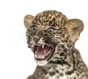 Spotted Leopard cub roaring - Panthera pardus, 7 weeks old Royalty Free Stock Photography