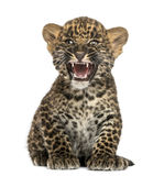 Spotted Leopard cub sitting and roaring- Panthera pardus. 7 weeks old, isolated on white Stock Photos