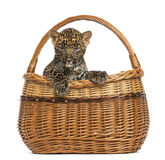 Spotted Leopard cub in wicker basket Stock Photo