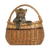 Spotted Leopard cub in wicker basket Stock Photo
